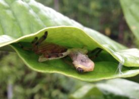 Strategia neobișnuită a unor păianjeni din Madagascar, pentru a prinde și a se înfrupta din broaște