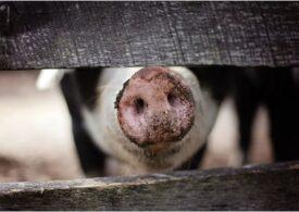 România înregistrează 428 de focare active de pestă porcină africană