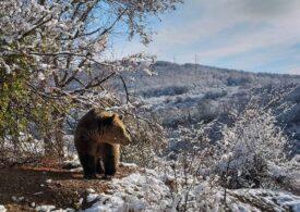 O ursoaica şi puii ei care aveau bârlog la Izvoru Mureşului au fost relocaţi cu succes