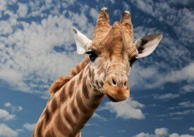 Singura girafă din România a murit înecată