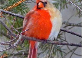 Un cardinal jumătate femelă, jumătate mascul a fost fotografiat în SUA