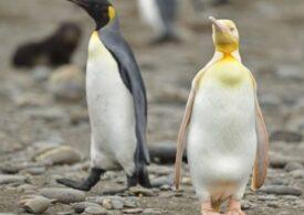 O ciudățenie de pinguin: galben, ca niciunul altul! Și nimeni nu știe de ce