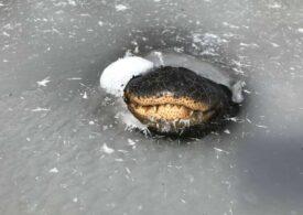 Tehnica ciudată de supraviețuire a aligatorilor, când apele îngheață