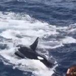 Bătălia pe viață și pe moarte dintre o balenă cu cocoașă și 15 orca – video în premieră