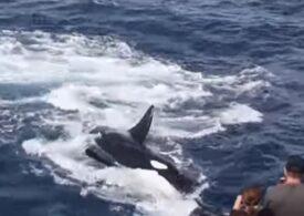 Bătălia pe viață și pe moarte dintre o balenă cu cocoașă și 15 orca - video în premieră