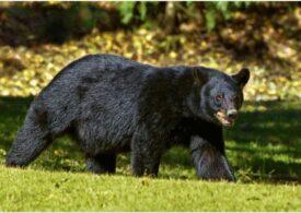 O boală ciudată face urșii să se comporte precum câinii