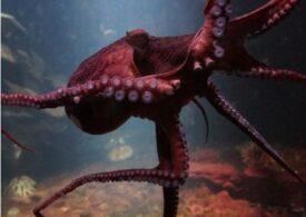 Descoperire făcută accidental despre caracatițe. Cum percep ele lumina