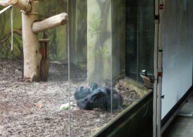Cum se distrează cimpanzeii în carantină: Un fel de Big Brother!