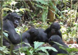 Prima dovadă că primatele mari adoptă pui străini, în sălbăticie