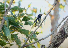 Cum a ajuns o specie de păsări să-și uite propriul cântec. Implicațiile sunt majore
