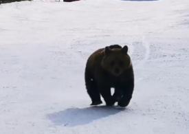 """Ministrul Mediului anunță că ursul va fi protejat, dar și vânat: Statele UE spun """"nu vă atingeţi de urși, dar noi nu vrem niciunul"""""""