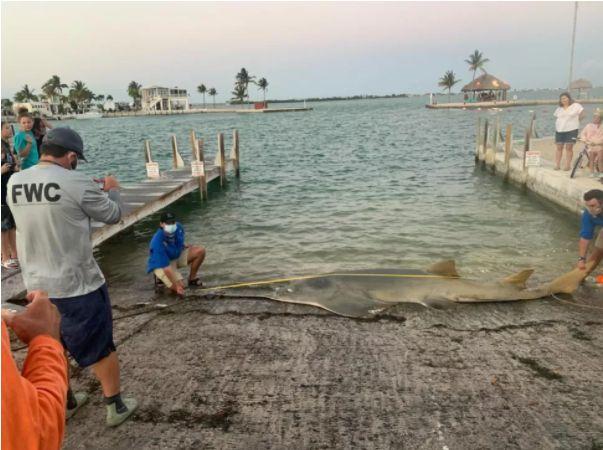 Cel mai mare pește-fierăstrău documentat vreodată a fost găsit pe o plajă din Florida