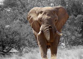Un braconier a vrut să ucidă elefanți, dar a ajuns să moară strivit de aceștia