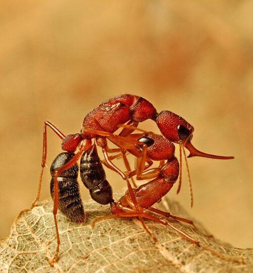 O specie de furnici este capabilă să-și micșoreze creierul. Iată în ce condiții