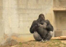 """Gorilele care se bat cu pumnii peste piept nu """"se dau mari"""". De fapt, gestul lor e cât se poate de onest"""