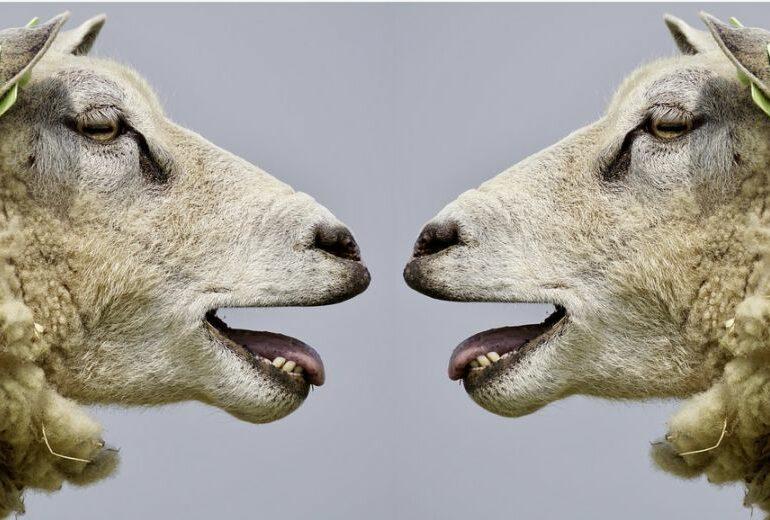 Studiu inedit: Ce fel de parteneri preferă oile