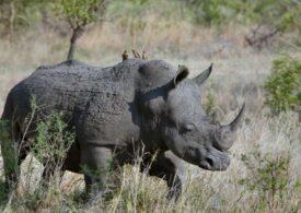 Pandemia a regenerat populația de rinoceri în Nepal. Niciodată în ultimii zeci de ani nu au fost atât de mulți!