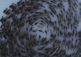 Imagini uimitoare surprinse din dronă! De ce se mișcă renii în cercuri perfecte (Video)