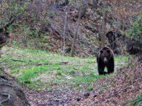 Un urs a fost găsit mort, în zona unde mai mulţi ciobani au fost atacaţi, iar unul dintre ei a murit