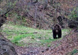 Mesaj RO-Alert în Brașov, după ce mai multe persoane au anunțat prezenţa unui urs