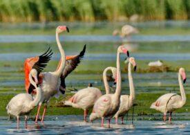 Păsările flamingo au fugit din Delta Dunării pentru că au fost hăituite continuu de turiști