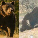 Ursul Arthur, o nouă victimă a corupției din România