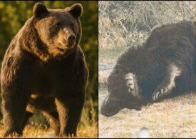 Prințul din Liechtenstein neagă că l-a împușcat pe ursul Arthur: Am dobândit legal autorizația de vânătoare