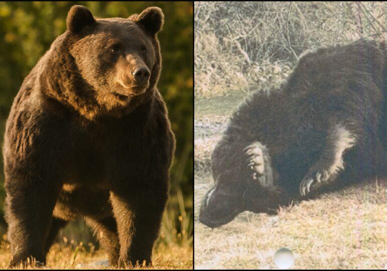 Comisia Europeană face propria analiză în cazul ursului ucis în România de prinţul de Liechtenstein