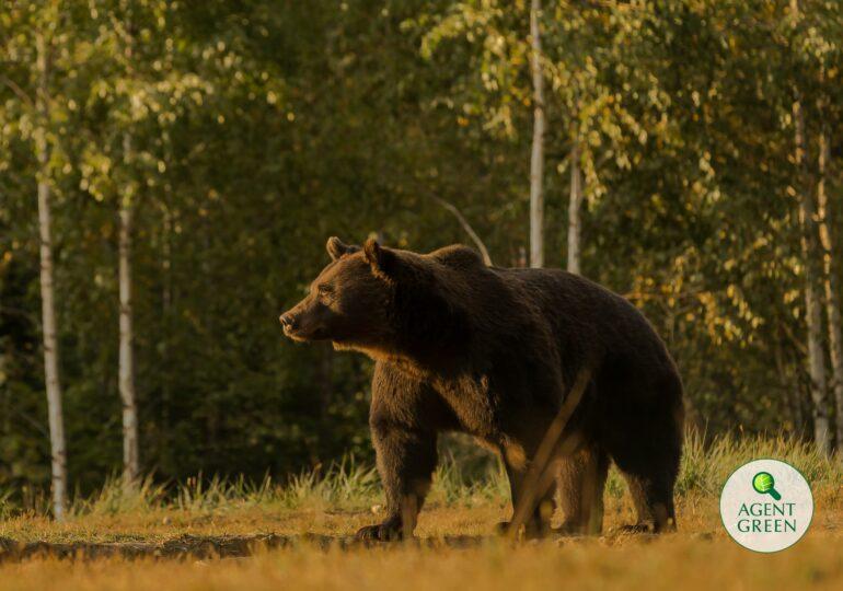 Uciderea ursului Arthur: DNA a deschis dosar penal pentru abuz în serviciu