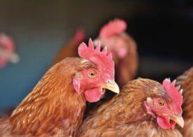 Au fost descoperite încă patru focare de gripă aviară. Se extind restricțiile, peste 1.500 de exploataţii comerciale vor fi grav afectate