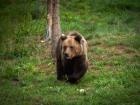 Într-o singură zi s-au dat 16 mesaje Ro-Alert despre urși în zone locuite