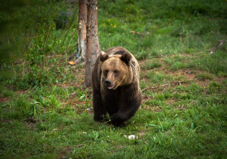 A fost adoptată ordonanța împotriva urşilor. Cîțu spune că într-un an va fi gata și o strategie, dar nu vom şti niciodată câţi urşi avem