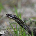 Cum să eviți mușcătura de viperă și ce să faci în cazul în care ești mușcat de șarpe