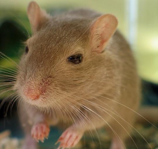 Am putea ajunge să trăim 120 de ani? Un tratament pe şoareci vine cu concluzii surprinzătoare