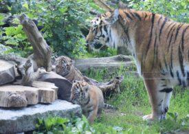 Doi pui de tigru siberian, specie rară, s-au născut la un Zoo din Polonia (Foto)