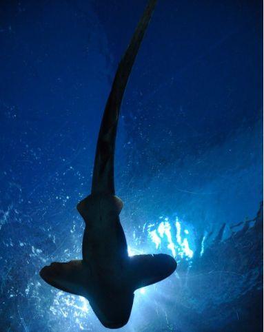 Rechinii au dispărut aproape în totalitate în urmă cu 19 milioane de ani. Trecem printr-un moment similar acum