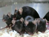 Reușită cu bătaie lungă: Din material genetic care a stat în spațiu aproape 6 ani, s-au născut pui sănătoși