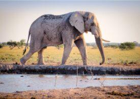 Nouă descoperire legată de trompa elefanților. Câtă apă poate stoca