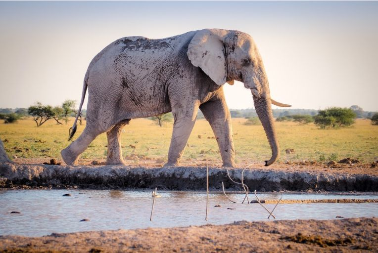 Nouă descoperire legată de trompa elefanților