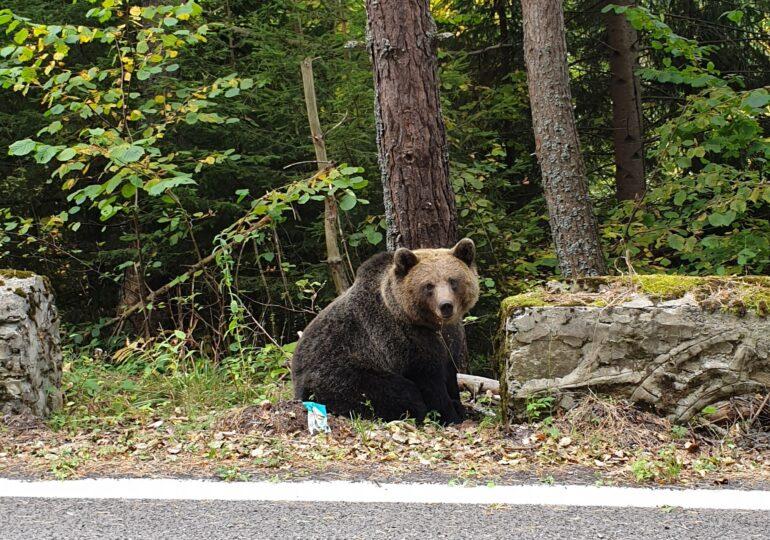 """Agent Green: Noua OUG va duce la executarea imediată a sute de urşi nevinovaţi. Semnaţi petiţia """"STOP vânătorii de trofee""""!"""