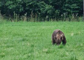 ONG: Ordonanța împotriva urșilor este inutilă, va duce efectiv la întârzierea în intervenție