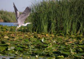 O specie agresivă de peşte a fost descoperită în Delta Dunării