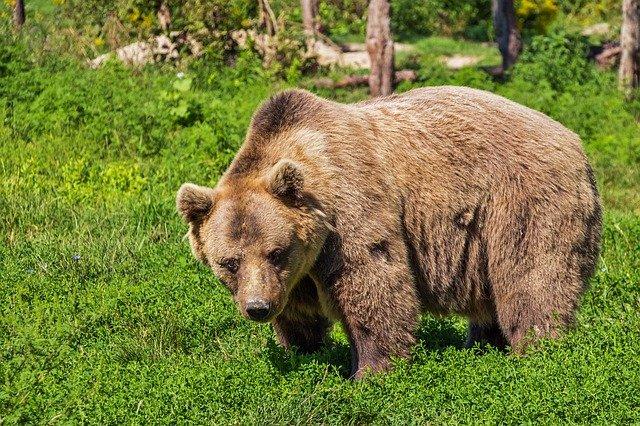 Decizie în instanţă: Statul trebuie să plătească 15.000 de euro unui român atacat de urs