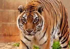 Acesta este cel mai vârstnic tigru din lume, recunoscut de Cartea Recordurilor