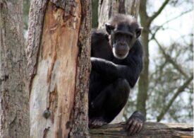 Cimpanzeii au fost văzuți omorând gorile pentru prima oară