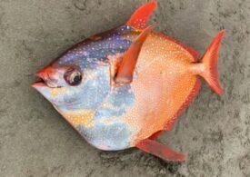Un pește neobișnuit și masiv a fost descoperit pe o plajă din Oregon (Galerie foto)