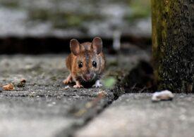 Nicușor Dan nu crede că avem invazie de șobolani,  dar spune că ascunzișurile rozătoarelor sunt greu de găsit: Fără o evidență a proprietăților, nu vom putea controla fenomenul