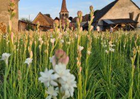 Tuberoza de Hoghilag ar putea deveni prima floare din România protejată la nivel european