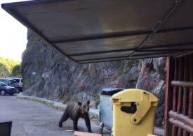 """Primarul din Băile Tușnad: Urșii au probleme """"geneticale"""" și trec de gardurile electrice"""
