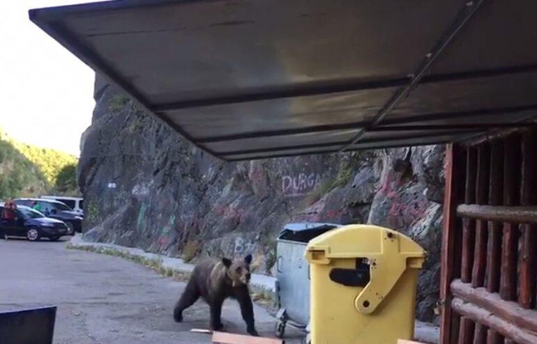 Un urs a fost filmat în timp ce căuta mâncare într-un tomberon la Barajul Vidraru. Mulți oameni erau în zonă (Video)